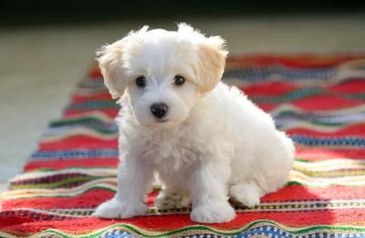 カラフルなラグの上でオスワリしている子犬