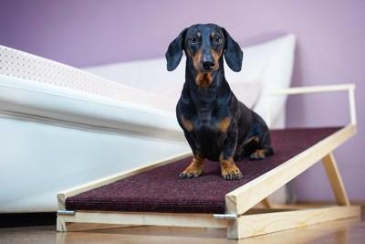 ベッドの横のスロープに座るダックスフンド