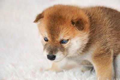 唸る柴犬の子犬