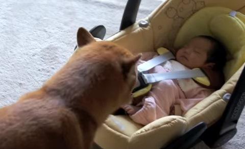 赤ちゃんを覗き込む柴犬