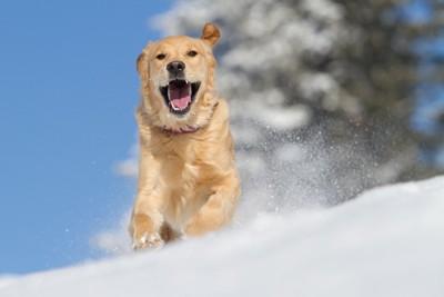 雪原を口を開けて走る犬
