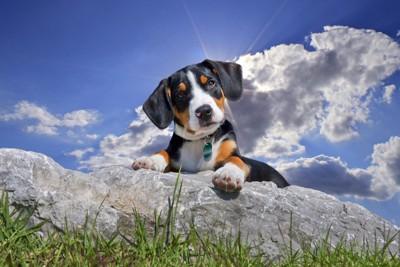 グレータースイスマウンテンドッグの子犬