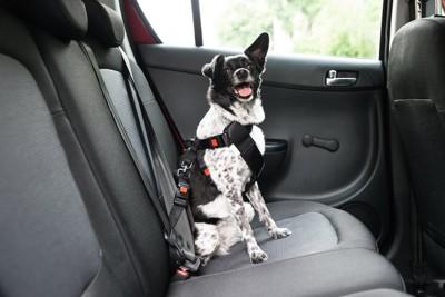 車内でシートベルトを装着した犬