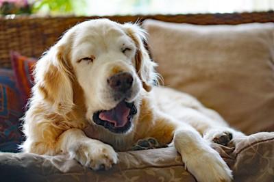 ソファーの上であくびをするゴールデン