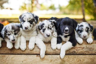5匹のボーダーコリーの幼犬