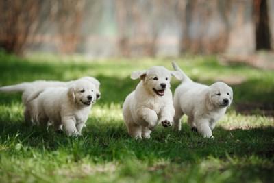 芝生を走る子犬たち