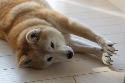 床に寝て伸びをする柴犬
