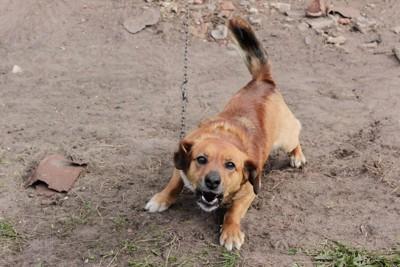 低い姿勢で吠える犬
