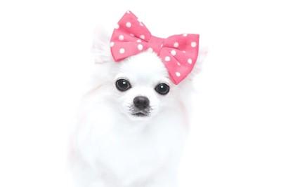 頭にピンクのリボンをつけた犬