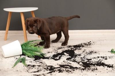 落ちて散らかった植木鉢を見つめる子犬