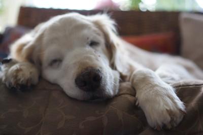 お昼寝中のシニア犬