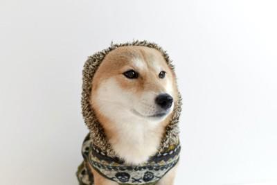 パーカーを着てフードをかぶっている柴犬