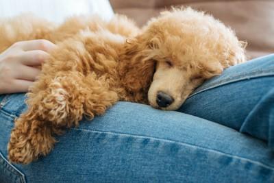 飼い主の膝の上で眠るトイプードル