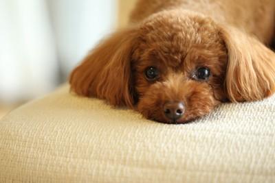 伏せた状態でこちらをじっと見る犬
