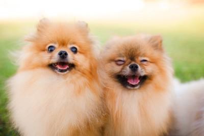 笑顔の二頭のポメラニアン