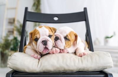 戯れる2頭のブルドッグの子犬