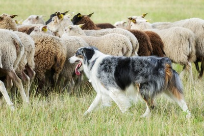 羊の群れと牧羊犬のボーダーコリー
