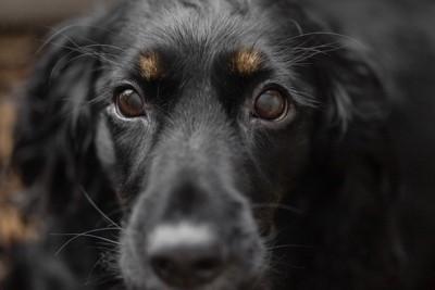 黒い犬の顔アップ