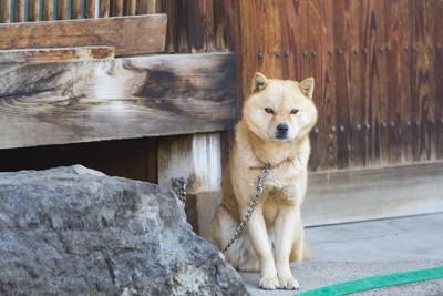 家のそばに繋がれて番犬をしている柴犬