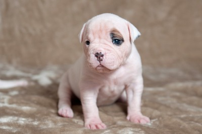 アメリカンブルドッグの子犬