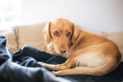 219582947 ソファにうずくまる犬