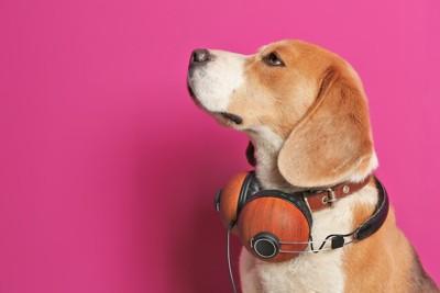 ヘッドホンを首にかけたビーグル犬の横顔