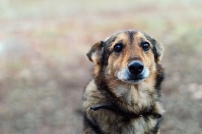 悲し気な表情をした黒茶の犬