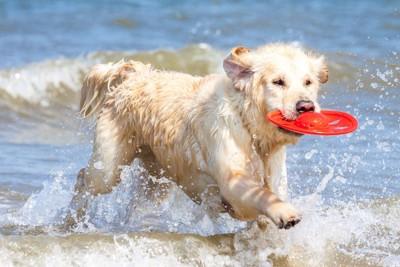 浜辺でフリスビーをくわえている犬