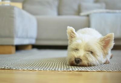 リビングで伏せて眠る白い犬