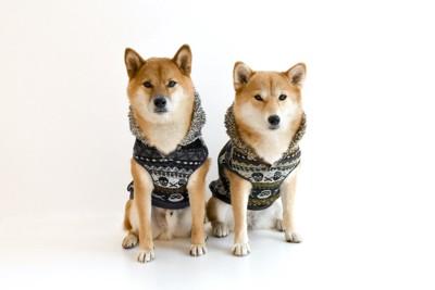 お揃いの服を着ている2頭の柴犬
