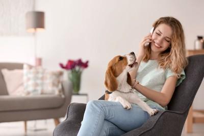 電話中の女性の膝に乗って吠えるビーグル