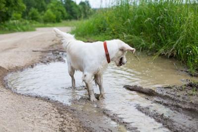 泥の水たまりに入る犬