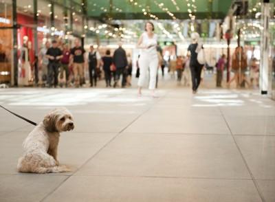 街中で座るリードをつけた小型犬