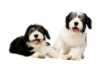 子犬のポリッシュローランドシープドッグ