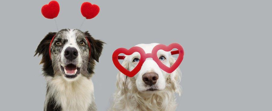 ハートのカチューシャと眼鏡を付けた2匹の犬
