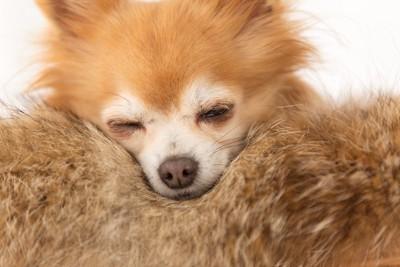 落ち着いて眠るチワワ
