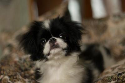 狆の子犬2