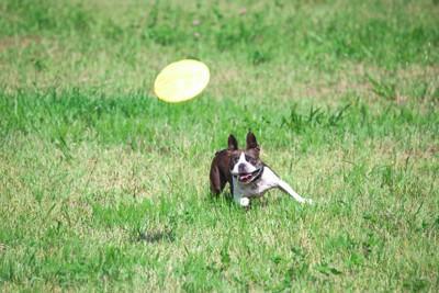 フリスビ  <p> 青空の下、草原を颯爽と走り回り、ディスクをキャッチする犬の姿は惚れ惚れするほどかっこいいですよね。 </p>  <p> 犬を飼った事がある方なら一度は憧れた事があるのではないでしょうか。 </p>  <p> フリスビードッグとは、人と犬とがフリスビーを使って一緒に楽しめるドッグスポーツの一種です。 </p>  <p> フリスビードッグというと、牧羊犬や大型犬など、運動量が豊富で賢い犬のスポーツというイメージがありますが、どんな犬種でも楽しむ事ができ、愛好者が増えています。 </p>  <div class=