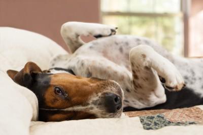 仰向けで寝転がる犬