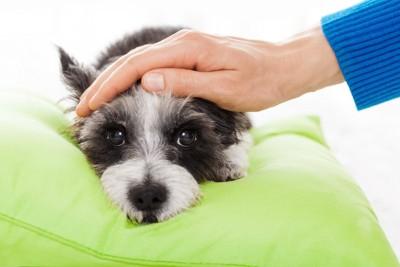 クッションの上で休む犬を撫でる飼い主の手