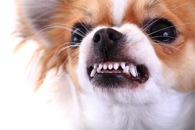 歯をむき出すチワワの顔アップ