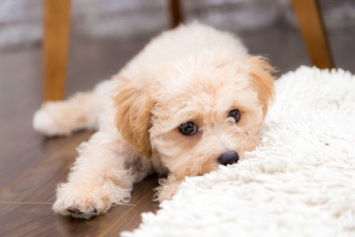 寂しそうに寝そべるトイプーの子犬