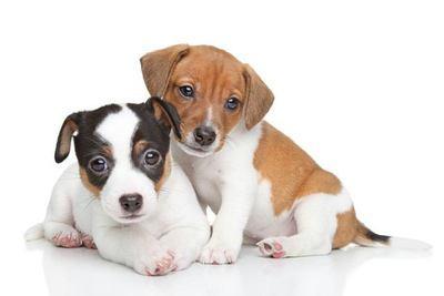 寄り添う2匹のジャックラッセルテリアの幼犬