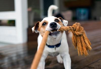飼い主とロープで引っ張りっこしている犬