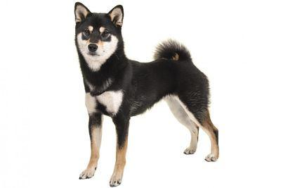 黒い毛色の柴犬
