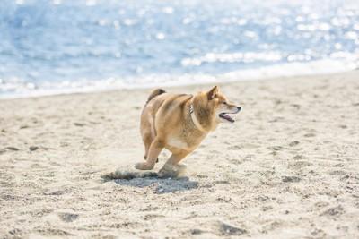 ビーチを走る柴犬