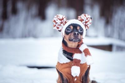 服を着こむ犬