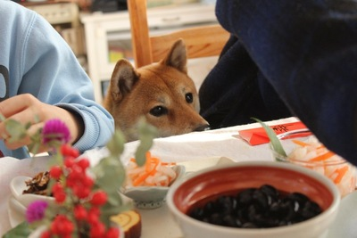 テーブルの上の黒豆を見る柴犬