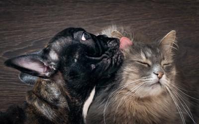猫を舐めるフレンチブル