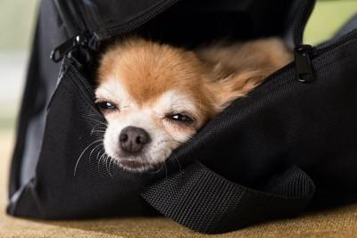 鞄の中から顔を出して眠るチワワ